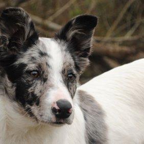 Австралийский Колли описание породы, фото, характеристика, клички для собак, цена щенков, гипоаллергенный: нет