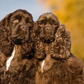 Американский кокер-спаниель описание породы, фото, характеристика, клички для собак, цена щенков, гипоаллергенный: нет