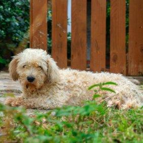Вандейский бассет-гриффон описание породы, фото, характеристика, клички для собак, цена щенков, гипоаллергенный: нет