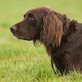 Немецкий лангхаар описание породы, фото, характеристика, клички для собак, цена щенков, гипоаллергенный: нет