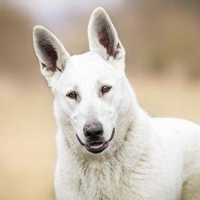 Белая американская овчарка описание породы, фото, характеристика, клички для собак, цена щенков, гипоаллергенный: нет