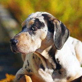 Леопардовая Гончая описание породы, фото, характеристика, клички для собак, цена щенков, гипоаллергенный: нет