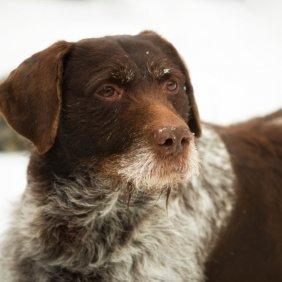 Дойч-Дратхаар описание породы, фото, характеристика, клички для собак, цена щенков, гипоаллергенный: нет
