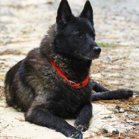 Норвежский эльгхунд черный описание породы, фото, характеристика, клички для собак, цена щенков, гипоаллергенный: нет