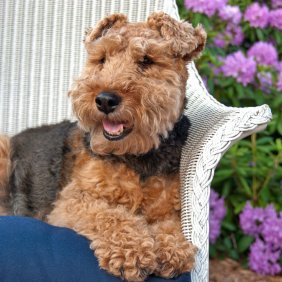 Вельш-терьер описание породы, фото, характеристика, клички для собак, цена щенков, гипоаллергенный: да