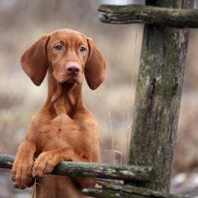 Венгерская выжла описание породы, фото, характеристика, клички для собак, цена щенков, гипоаллергенный: нет