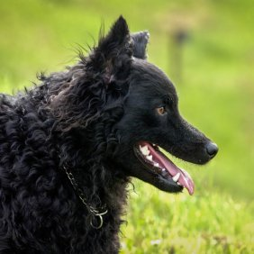 Хорватская овчарка описание породы, фото, характеристика, клички для собак, цена щенков, гипоаллергенный: нет