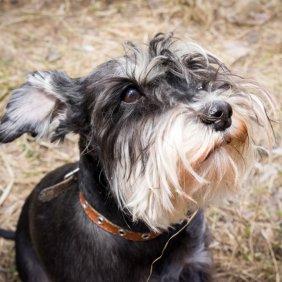 Цвергшнауцер описание породы, фото, характеристика, клички для собак, цена щенков, гипоаллергенный: да