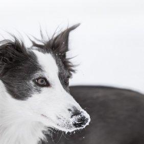 Шелковистый виндхаунд описание породы, фото, характеристика, клички для собак, цена щенков, гипоаллергенный: нет