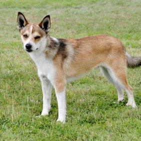 Норвежский лундехунд описание породы, фото, характеристика, клички для собак, цена щенков, гипоаллергенный: нет