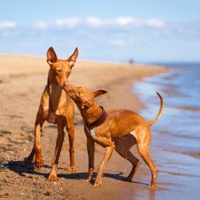 Чирнеко дель Этна описание породы, фото, характеристика, клички для собак, цена щенков, гипоаллергенный: нет