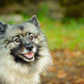 Кеесхонд описание породы, фото, характеристика, клички для собак, цена щенков, гипоаллергенный: нет