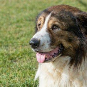 Болгарская овчарка описание породы, фото, характеристика, клички для собак, цена щенков, гипоаллергенный: нет