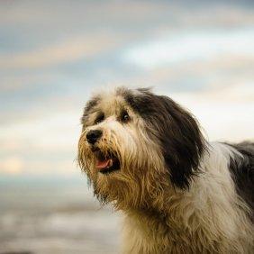 Польская низинная овчарка описание породы, фото, характеристика, клички для собак, цена щенков, гипоаллергенный: да