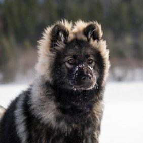 Евразиер описание породы, фото, характеристика, клички для собак, цена щенков, гипоаллергенный: нет