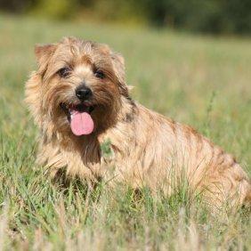 Норфолк-терьер описание породы, фото, характеристика, клички для собак, цена щенков, гипоаллергенный: да