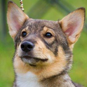 Лапхунд описание породы, фото, характеристика, клички для собак, цена щенков, гипоаллергенный: нет