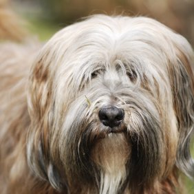 Тибетский терьер описание породы, фото, характеристика, клички для собак, цена щенков, гипоаллергенный: да
