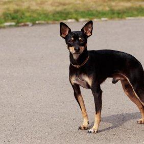 Манчестер той терьер описание породы, фото, характеристика, клички для собак, цена щенков, гипоаллергенный: нет
