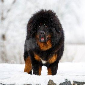 Тибетский мастиф описание породы, фото, характеристика, клички для собак, цена щенков, гипоаллергенный: нет