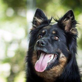 Чешская пастушья собака описание породы, фото, характеристика, клички для собак, цена щенков, гипоаллергенный: нет