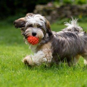 Гаванский бишон описание породы, фото, характеристика, клички для собак, цена щенков, гипоаллергенный: да
