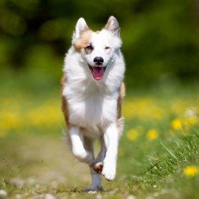 Исландская собака описание породы, фото, характеристика, клички для собак, цена щенков, гипоаллергенный: нет