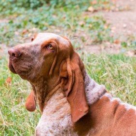 Итальянский бракк описание породы, фото, характеристика, клички для собак, цена щенков, гипоаллергенный: нет