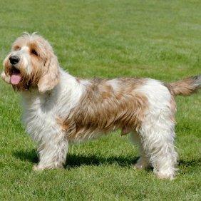 Пуэрториканский мастиф описание породы, фото, характеристика, клички для собак, цена щенков, гипоаллергенный: нет