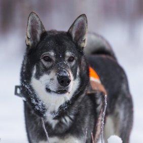 Емтхунд (Шведская лайка) описание породы, фото, характеристика, клички для собак, цена щенков, гипоаллергенный: нет