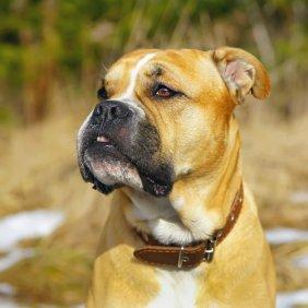 Ка де Бо описание породы, фото, характеристика, клички для собак, цена щенков, гипоаллергенный: нет