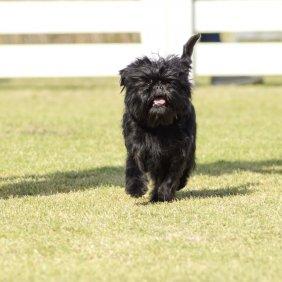 Аффенпинчер описание породы, фото, характеристика, клички для собак, цена щенков, гипоаллергенный: да