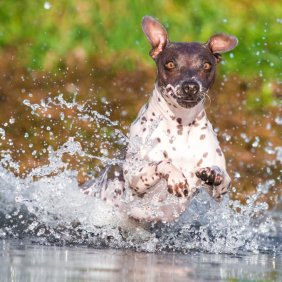 Американский голый терьер описание породы, фото, характеристика, клички для собак, цена щенков, гипоаллергенный: нет