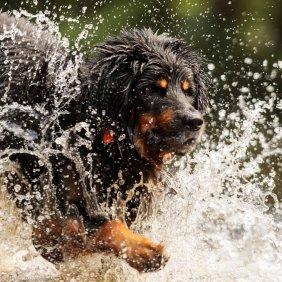 Ховаварт описание породы, фото, характеристика, клички для собак, цена щенков, гипоаллергенный: нет