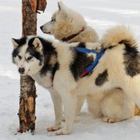 Канадская эскимосская собака описание породы, фото, характеристика, клички для собак, цена щенков, гипоаллергенный: нет