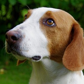 Древер описание породы, фото, характеристика, клички для собак, цена щенков, гипоаллергенный: нет