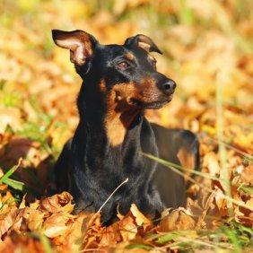 Немецкий пинчер описание породы, фото, характеристика, клички для собак, цена щенков, гипоаллергенный: нет