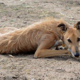 Американский стагхаунд описание породы, фото, характеристика, клички для собак, цена щенков, гипоаллергенный: нет