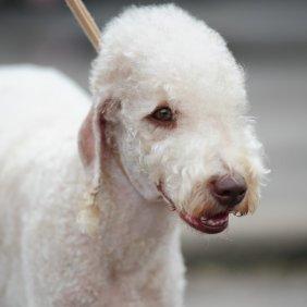 Бедлингтон-терьер описание породы, фото, характеристика, клички для собак, цена щенков, гипоаллергенный: да