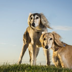 Салюки описание породы, фото, характеристика, клички для собак, цена щенков, гипоаллергенный: нет