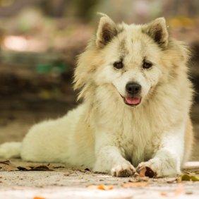 Тайский банкэв описание породы, фото, характеристика, клички для собак, цена щенков, гипоаллергенный: нет