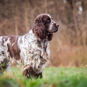 Английский спрингер-спаниель описание породы, фото, характеристика, клички для собак, цена щенков, гипоаллергенный: нет