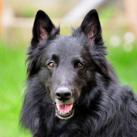 Грюнендаль описание породы, фото, характеристика, клички для собак, цена щенков, гипоаллергенный: нет