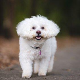 Бишон фризе описание породы, фото, характеристика, клички для собак, цена щенков, гипоаллергенный: да
