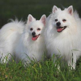 Вольпино итальяно описание породы, фото, характеристика, клички для собак, цена щенков, гипоаллергенный: нет