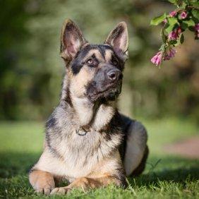 Восточноевропейская овчарка описание породы, фото, характеристика, клички для собак, цена щенков, гипоаллергенный: нет