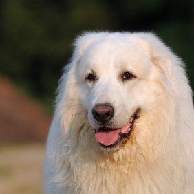 Пиренейский мастиф описание породы, фото, характеристика, клички для собак, цена щенков, гипоаллергенный: нет