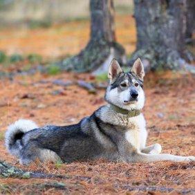 Западносибирская лайка описание породы, фото, характеристика, клички для собак, цена щенков, гипоаллергенный: нет