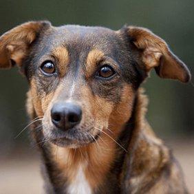 Австрийский пинчер описание породы, фото, характеристика, клички для собак, цена щенков, гипоаллергенный: нет