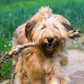 Бриар описание породы, фото, характеристика, клички для собак, цена щенков, гипоаллергенный: нет